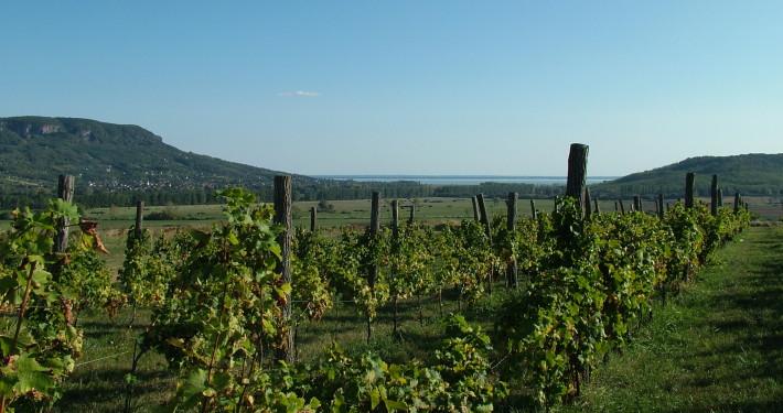 Vineyard • Hungary