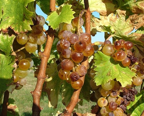 News Grape Harvest