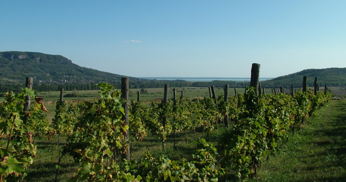 Vineyard • Hungary
