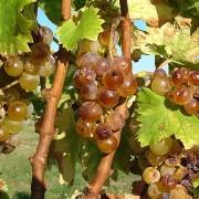 News Grape Harvest
